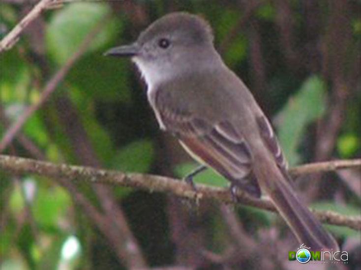 Birds Of Dominica Birdwatching In Dominica Eastern